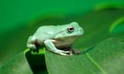Con ếch điếc